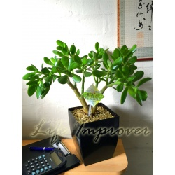 1 x Jade Plant Money Friendship Plant in Small Milano Pot,30-35cm Tall