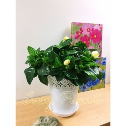 1 x Gardenia Cape Jasmine Plant in White Floral Pot,45-50cm Tall