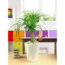 1 Elephants Foot Ponytail Palm Tree House Plant in Gloss White Self Watering Pot