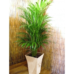 1 Large Parlour Palm House Floor Plant @ Gloss White Milano Pot 120 - 140cm Tall