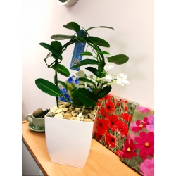 1 Scented Madagascar Jasmine Flower House Plant in White Milano Pot