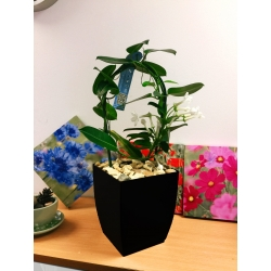 1 x Madagascar Jasmine Flower Hoop Plant in Small Milano Pot,35-45cm Tall