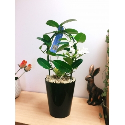 1 x Madagascar Jasmine Flower Tower Plant in Small Tubus Pot,35-45cm Tall
