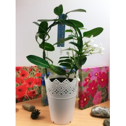 1 x Madagascar Jasmine Flower Hoop Plant in White Floral Pot,35-45cm Tall