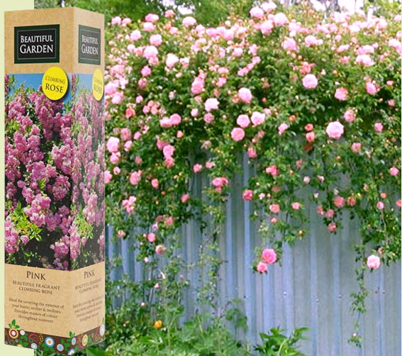 Spring growing pink fragrant climbing rose flower bare rooted plant shrub in box ebay - Scented indoor plants that give your home a great fragrance ...