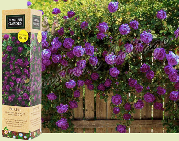 1 purple fragrant climbing bush rose bare rooted grden plant shrub ebay - Scented indoor plants that give your home a great fragrance ...