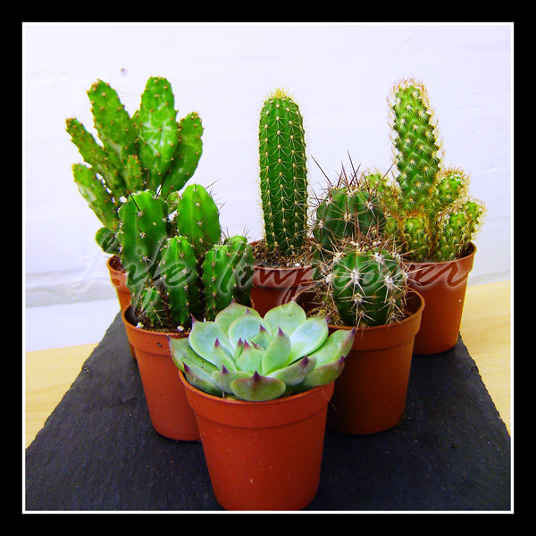1 Evergreen Mini Ornamental Indoor Cactus Plant In Pot Ebay: cactus pots for sale