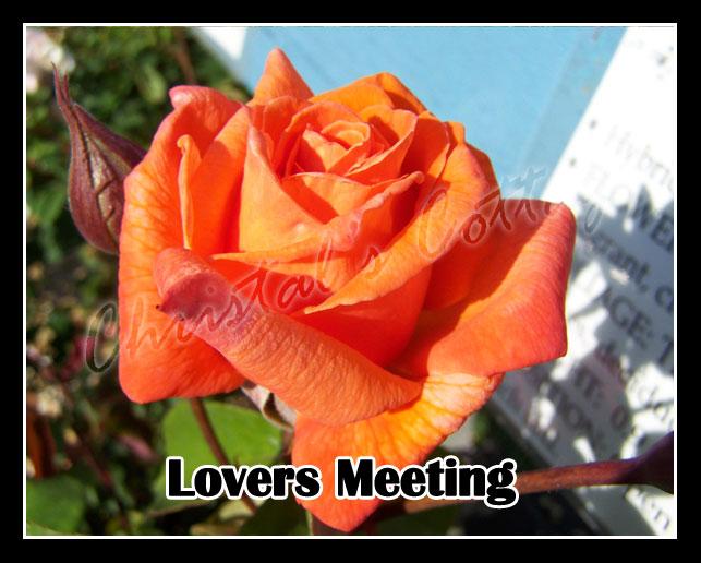 1 Fragrant Climbing Bush Rose Bare Rooted Plant Shrub