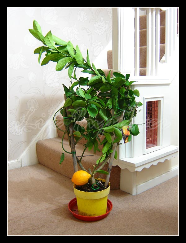 Large dwarf mature stand scent lemon citrus fruit indoor tree house plant in pot ebay - Best compost for flower pots solutions within reach ...