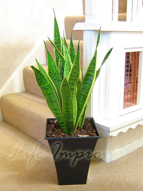 Mother in law 39 s tongue good luck plant snake plant evergreen indoor plant in pot ebay - Best compost for flower pots solutions within reach ...
