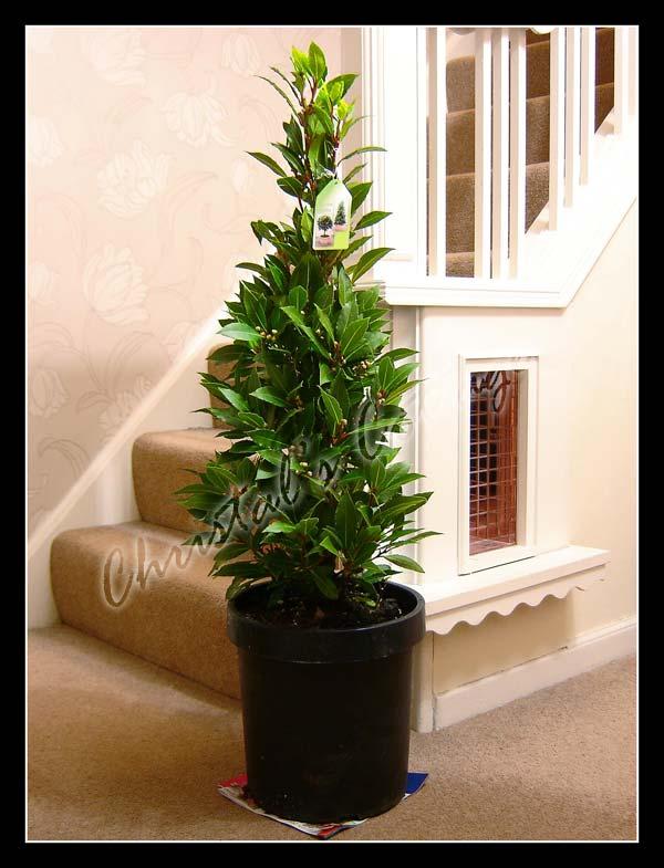 Hardy fragrant laurus nobilis sweet bay tree in pot indoor outdoor garden plant ebay - Best compost for flower pots solutions within reach ...