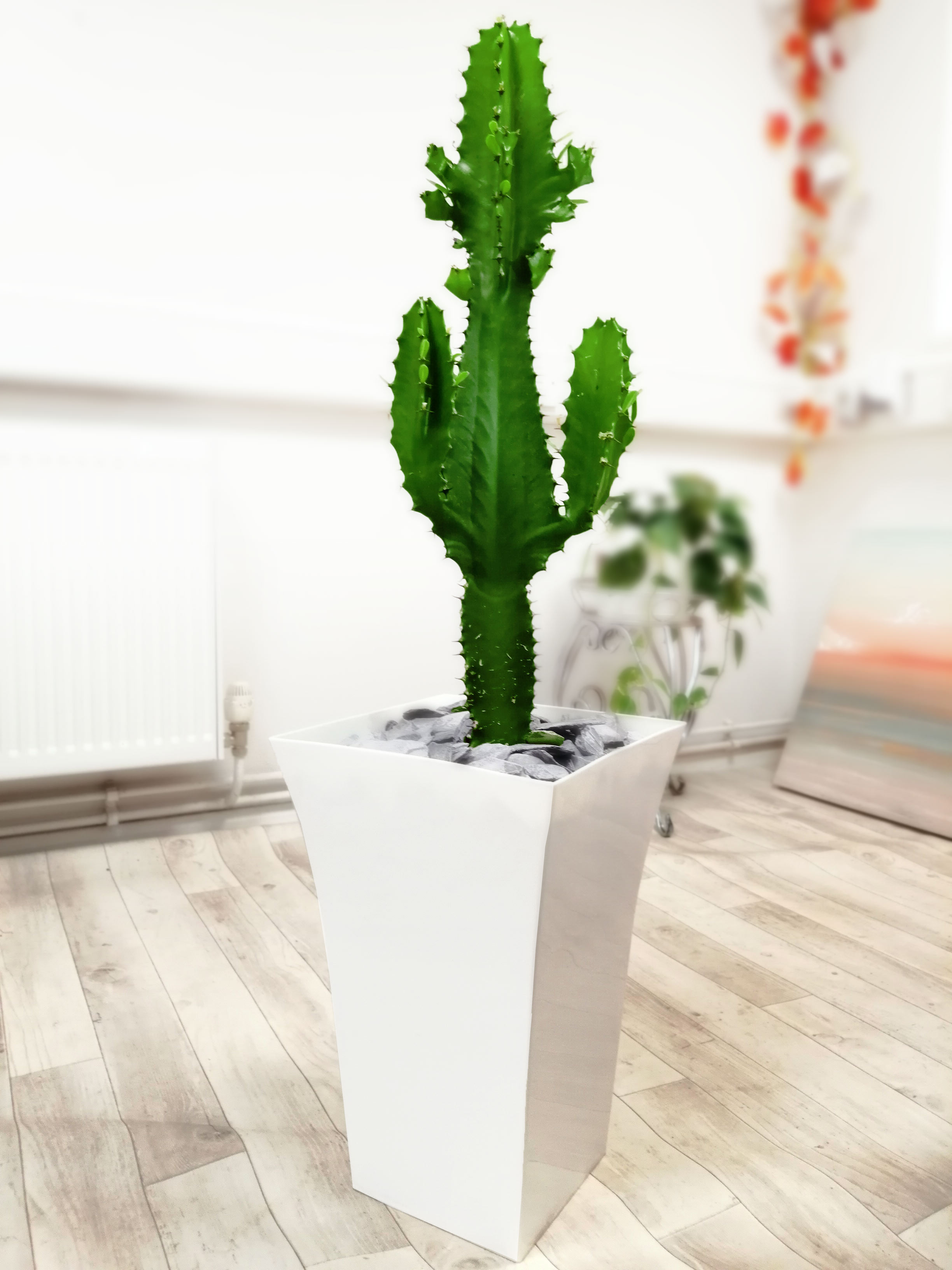 1 Mature Euphorbia Ingens Cowboy Cactus in Pot House ...