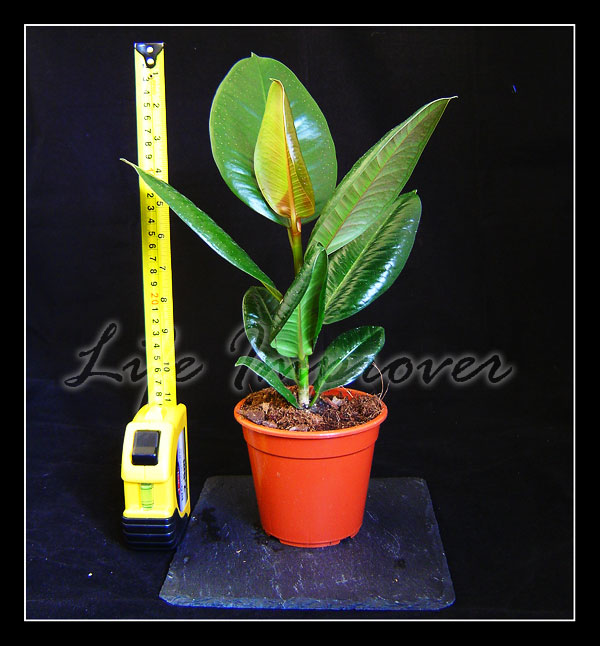 40 55cm Evergreen Indoor House Plant Pot Peace Lily Palm