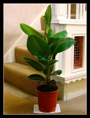 traditional evergreen indoor house tree plant pot rubber ficus golden king fig 3kzwktj5 house. Black Bedroom Furniture Sets. Home Design Ideas